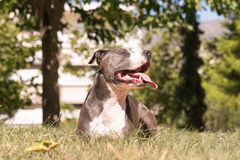 American Staffordshire terrier resting at a park enjoying the moment. Royalty Free Stock Images
