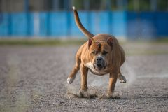 The American Staffordshire Terrier running. The American Staffordshire Terrier a running royalty free stock photos