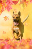American Staffordshire Terrier running in autumn with leaves Royalty Free Stock Photo