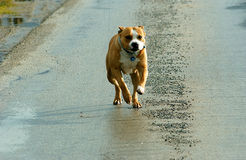 American staffordshire terrier running Royalty Free Stock Photo