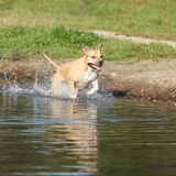 American Staffordshire Terrier running in water Stock Photos