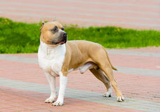 American Staffordshire Terrier on the show. The American Staffordshire Terrier on the show in park stock photo