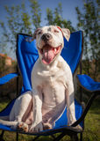 American Staffordshire Terrier sitting Stock Image