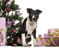 American Staffordshire Terrier sitting in front of Christmas decorations Stock Photo