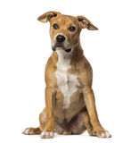American Staffordshire Terrier sitting Royalty Free Stock Images