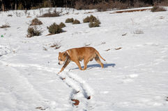 American Staffordshire Terrier on snow Stock Image