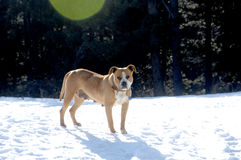 American Staffordshire Terrier on snow Royalty Free Stock Photography
