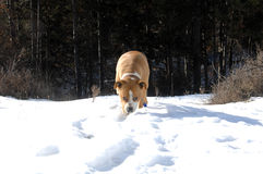 American Staffordshire Terrier on snow Royalty Free Stock Images