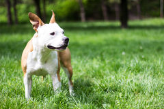 American Staffordshire terrier standing and looking away Royalty Free Stock Photography