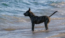 American Staffordshire Terrier stay on the beach at summer time. American Staffordshire Terrier stay on the beach near water waiting for the owner. The dog is stock image