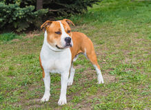 American Staffordshire Terrier straight. The American Staffordshire Terrier is on the grass stock photography