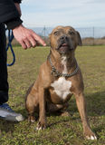 American staffordshire terrier Stock Image