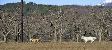 American Staffordshire Terrier und Labrador Stockbilder