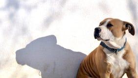 American Staffordshire Terrier und sein Schatten Stockbilder