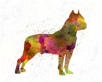 American Staffordshire Terrier in watercolor. American Staffordshire Terrier in artistic abstract watercolor Royalty Free Stock Image