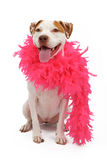 American Staffordshire Terrier wearing a boa Stock Photography