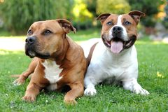 American Staffordshire terriers. Two American Staffordshire terriers lying on the grass Royalty Free Stock Images