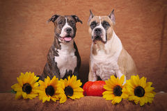 American staffordshire terriers Royalty Free Stock Photo