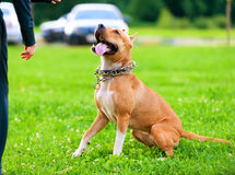 American StaffordshireTerrier in training process Royalty Free Stock Photography