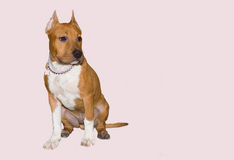 American Stafforshire Terrier dog on a light pink background