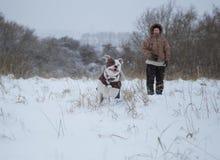 American Stafforshire terrier Winter . Run royalty free stock photos