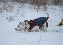 American Stafforshire terrier Winter Run royalty free stock photo
