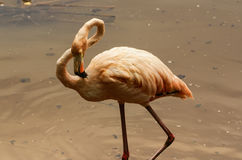 The American subspecies of Caribbean Flamingo (Phoenicopterus ruber ruber) Royalty Free Stock Image