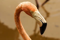 The American subspecies of Caribbean Flamingo (Phoenicopterus ruber ruber) Royalty Free Stock Images