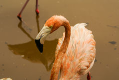 The American subspecies of Caribbean Flamingo (Phoenicopterus ruber ruber) Royalty Free Stock Photos