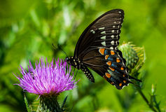 American Swallowtail Stock Images
