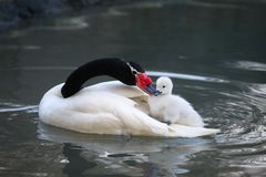 American swan Royalty Free Stock Photo