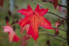 American sweet-gum tree. Red autumn leaf closeup. Liquidambar styraciflua Stock Photos