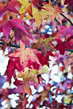American Sweetgum Stock Photography