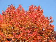 Free American Sweetgum, In Fall Season With Its Red, Orange And Yellow Leaves Stock Photo - 103782090