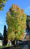 Mature American sweetgum ( Liquidambar styraciflua) tree. Stock Images