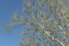 American Sycamore Stock Photo