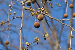 American sycamore seed balls stock image