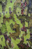 American Sycamore tree bark Royalty Free Stock Image