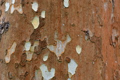 American sycamore. Tree bark, close up. Texture or background royalty free stock image