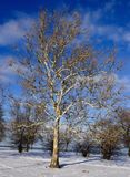 An American Sycamore Tree. This os a Winter picture of a stately American Sycamore Tree in the snow Covered Lincoln Park of Foster Beach on Lake Michigan located royalty free stock image