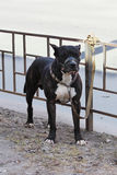 American Tiger Pit Bull Terrier is tied to the fence and expects the owners near the store. American Tiger Pit Bull Terrier is tied to the fence and expects the royalty free stock photography