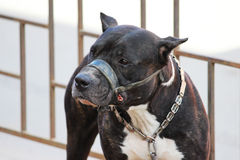 American Tiger Pit Bull Terrier is tied to the fence and expects the owners near the store. American Tiger Pit Bull Terrier is tied to the fence and expects the stock images