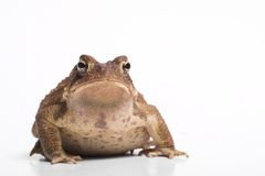 American Toad 1. A face on portrait of an american toad against a white background stock images