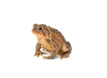 American Toad Stock Images