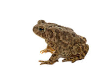 American Toad. Photograph of a single American Toad isolated against a white background Royalty Free Stock Photos