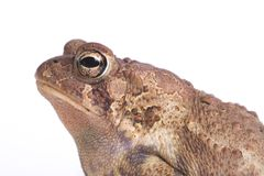 American Toad 2. A close up profile of an american toad against a white background royalty free stock photo