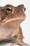 American Toad 3. A close up 3/4 portrait of an american toad against a white background royalty free stock photography