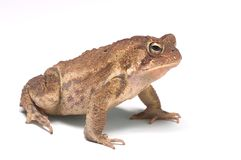 American Toad 5 Stock Photography
