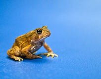 American Toad Royalty Free Stock Image