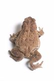 American Toad 6. A rear overhead view of an american toad against a white background stock photos